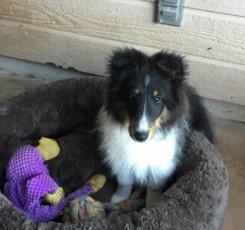 Shelties for sale