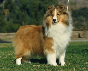 Best Shelties On The Web